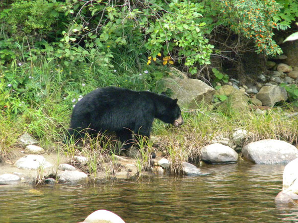 Bear along the River