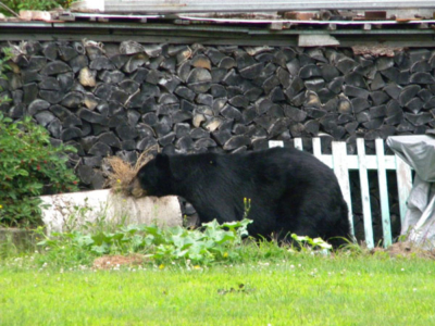 Another Bear Visitor