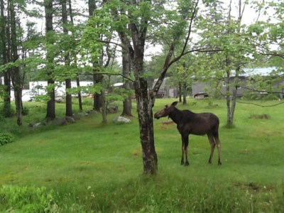 Another Moose Visitor